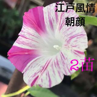 日本朝顔 2苗(その他)