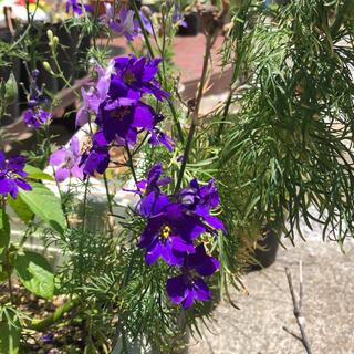 ラークスパー 千鳥草 チドリソウ 紫 種 たね 約100粒(その他)