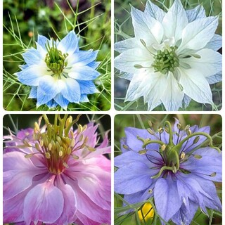 ♥花の種 ニゲラペルシャンジェル(その他)