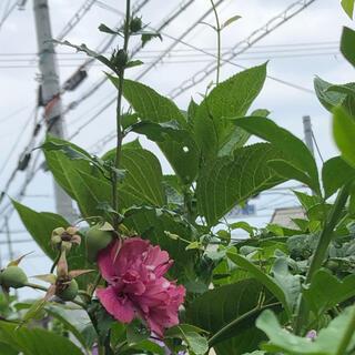 木槿 ピンク 八重 挿し穂  7本(その他)