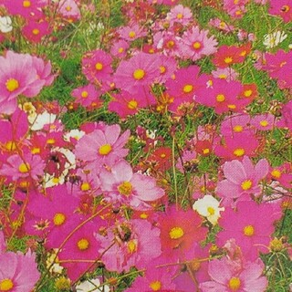 花の種      コスモスミックス+おまけ(その他)