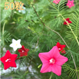 ルコウソウ3色咲き*約50粒(プランター)