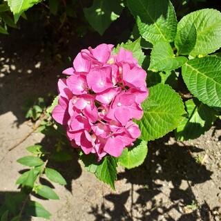 ピンクローズカラー 紫陽花 挿し穂(その他)