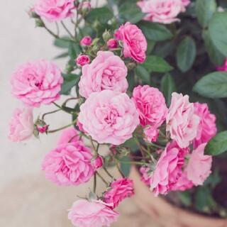ピンクのミニ薔薇  挿し穂2本(その他)