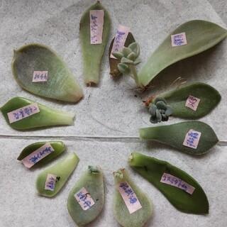 多肉植物 葉挿し 12種類12枚(その他)