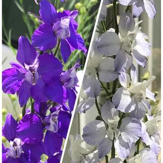 花の種【千鳥草】紫&淡ブルー 300粒(その他)