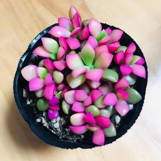桜吹雪 多肉植物(その他)