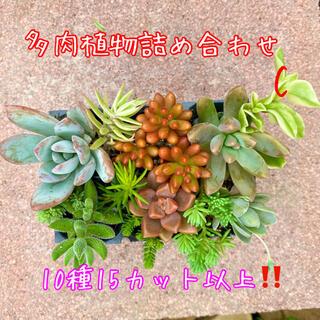 多肉植物詰め合わせ♡10種15個以上❗️ほとんど根付き苗‼️C(その他)