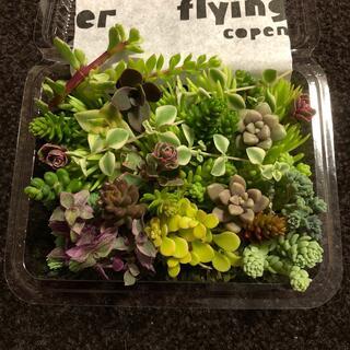 多肉植物 カット苗色鮮やかいっぱい詰まってます❗️可愛いくアレンジしてね❤️(その他)