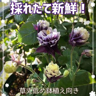 オダマキ ウィンキーダブル ブラックベリー(その他)