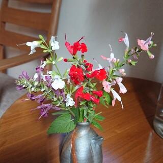 プープロフを読んで下さい様  専用  花種   サルビアコクシネア  4色(その他)