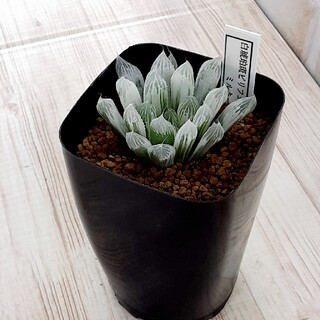 多肉植物 ハオルチア 白琥珀斑 ピリフェラ ミルキー(その他)