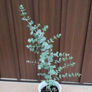 ユーカリ クルセアナ 鉢植え 観葉植物 シンボルツリーに♪ 希少 レア 苗 苗木(プランター)