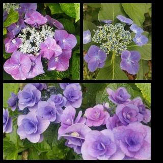 アジサイ挿し穂 3種6本 ブルー八重2本 一重2本、赤紫一重2本 第4種郵便物 (プランター)