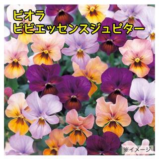 ビオラ ビビエッセンス ジュピター 20粒 【花言葉:忠実】(その他)
