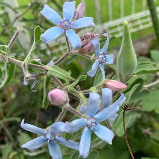 オキシペタラム  種  10粒 ブルースター レースフラワー種(その他)