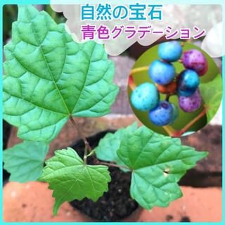 青色のグラデーション⭐️ノブドウ(野葡萄)2苗 庭木 蔓 観葉植物 盆栽素材(その他)