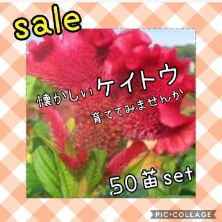 通常888円 けいとう小苗×50苗(その他)