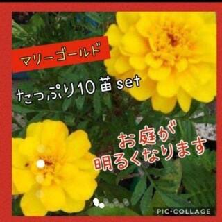 マリーゴールド  花苗 10株set(その他)