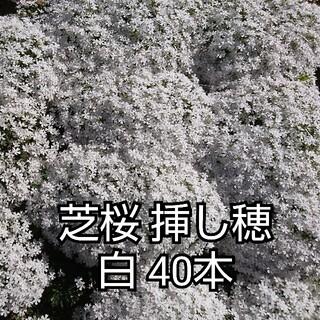 芝桜 挿し穂 青・紫系 40本(4種×10本)(その他)