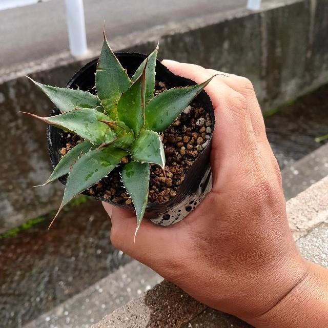 強棘!!アガベ ホリダ コンパクタ ⑱ ハンドメイドのフラワー/ガーデン(その他)の商品写真