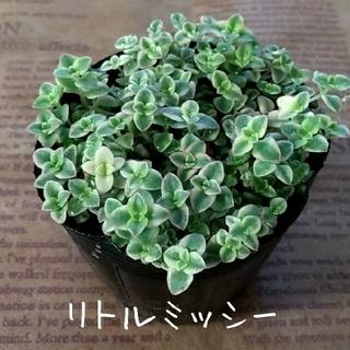多肉植物 クラッスラ【リトルミッシー】【若緑】カット苗セット(その他)
