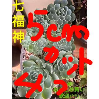 ✳️多肉植物/七福神/cut/5センチ/②つ/※複数の場合コメントから✳️(その他)