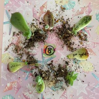 パクさん苗入り❣⑧多肉植物 葉挿し 小苗 7種セット❤(その他)