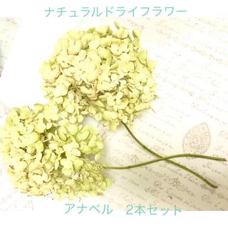 ナチュラルドライフラワー アナベル ホワイト〜ライトグリーン 2本セット(ドライフラワー)