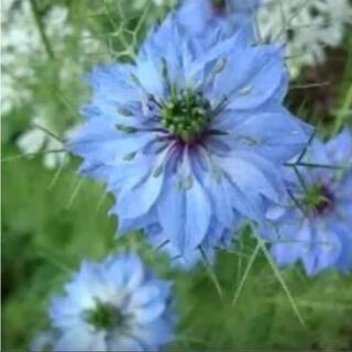 花の種 ニゲラ(その他)
