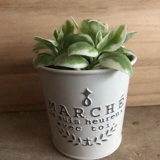 ミニ苗 斑入りベビーサンローズ 多肉植物 観葉植物(その他)