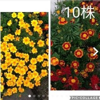マリーゴールド 黄色 オレンジ 赤色 苗 10株(その他)