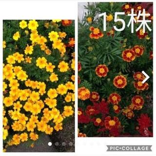 マリーゴールド 黄色 オレンジ 赤色 苗 15株(その他)