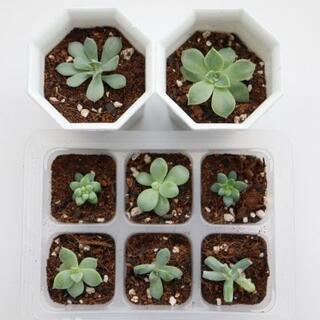 多肉植物  カット苗  抜き苗   レボリューションなど(その他)
