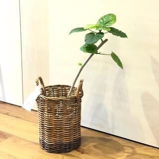 フィカス ウンベラータ ゴムの木 観葉植物 ザ アラログ鉢カバー付き(その他)