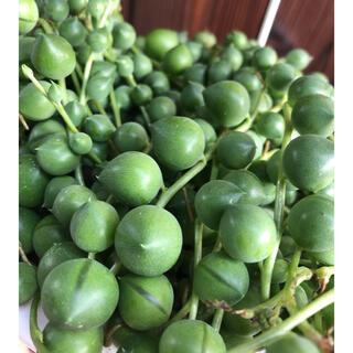 多肉植物 グリーンネックレス カット 10本(その他)