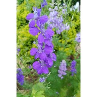 花の種 千鳥草の種 300粒(その他)