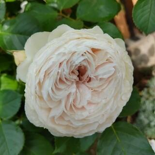 カップ咲き白バラ(その他)
