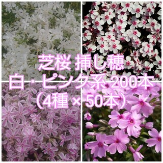 芝桜 挿し穂 白・ピンク系200本(4種×50本)(その他)