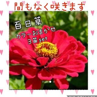 百日草  花苗 3本 セット(その他)
