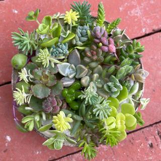 30種 多肉植物 セダム カット苗(その他)