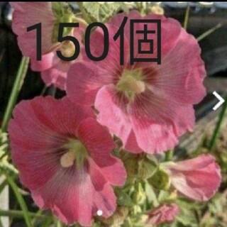 タチアオイ(ぴんく)150個(その他)