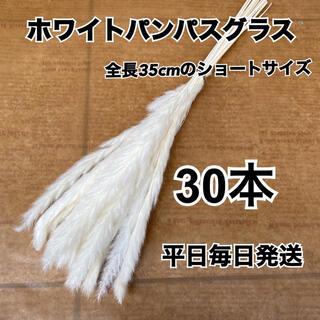 SALEホワイトパンパスグラス30本(ドライフラワー)