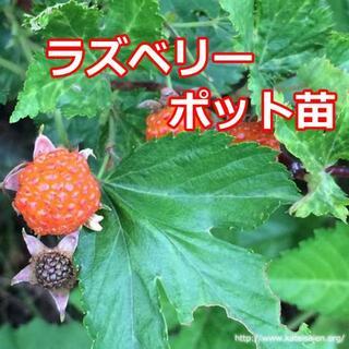 ■ラズベリー小苗ポット苗 木苺オレンジ色 無農薬栽培スイーツ&生食用♪(フルーツ)