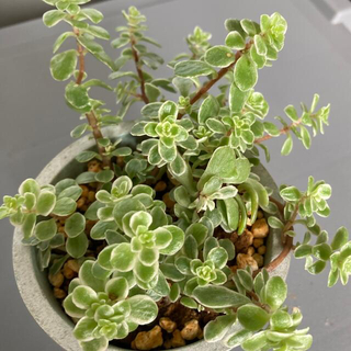 chobo様専用 多肉植物✴︎斑入り丸葉万年草 抜き苗(プランター)
