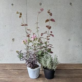 ✾ サントリナ・金魚草・アガスターシェ ✾(その他)