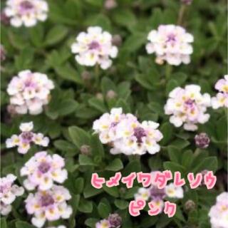 ヒメイワダレソウ 植物(その他)