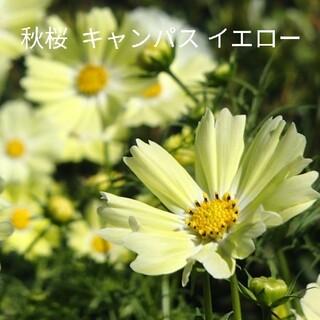 秋桜  40粒以上 イエローキャンパス  花種(プランター)