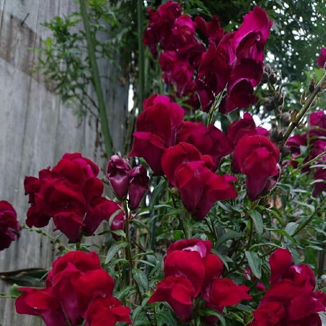 ブラックプリンス 金魚草 種 ハンドメイドのフラワー/ガーデン(プランター)の商品写真
