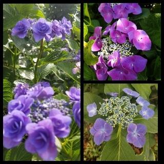 アジサイ挿し穂 3種6本 ブルー八重2本 一重2本、赤紫一重2本 ラクマパック (プランター)